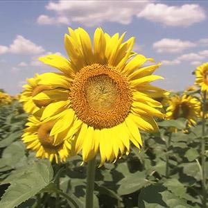 "Institut za kukuruz ""Zemun Polje"" ""Prinos za ponos"" - SUNCOKRET Reklamni spot (2010)"